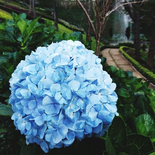 Blue Color Blue Flowers Big Flower Flower Beauty In Nature Nature Growth Petal Plant No People Hydrangea Outdoors Blue Day Flower Head Fragility Freshness Close-up