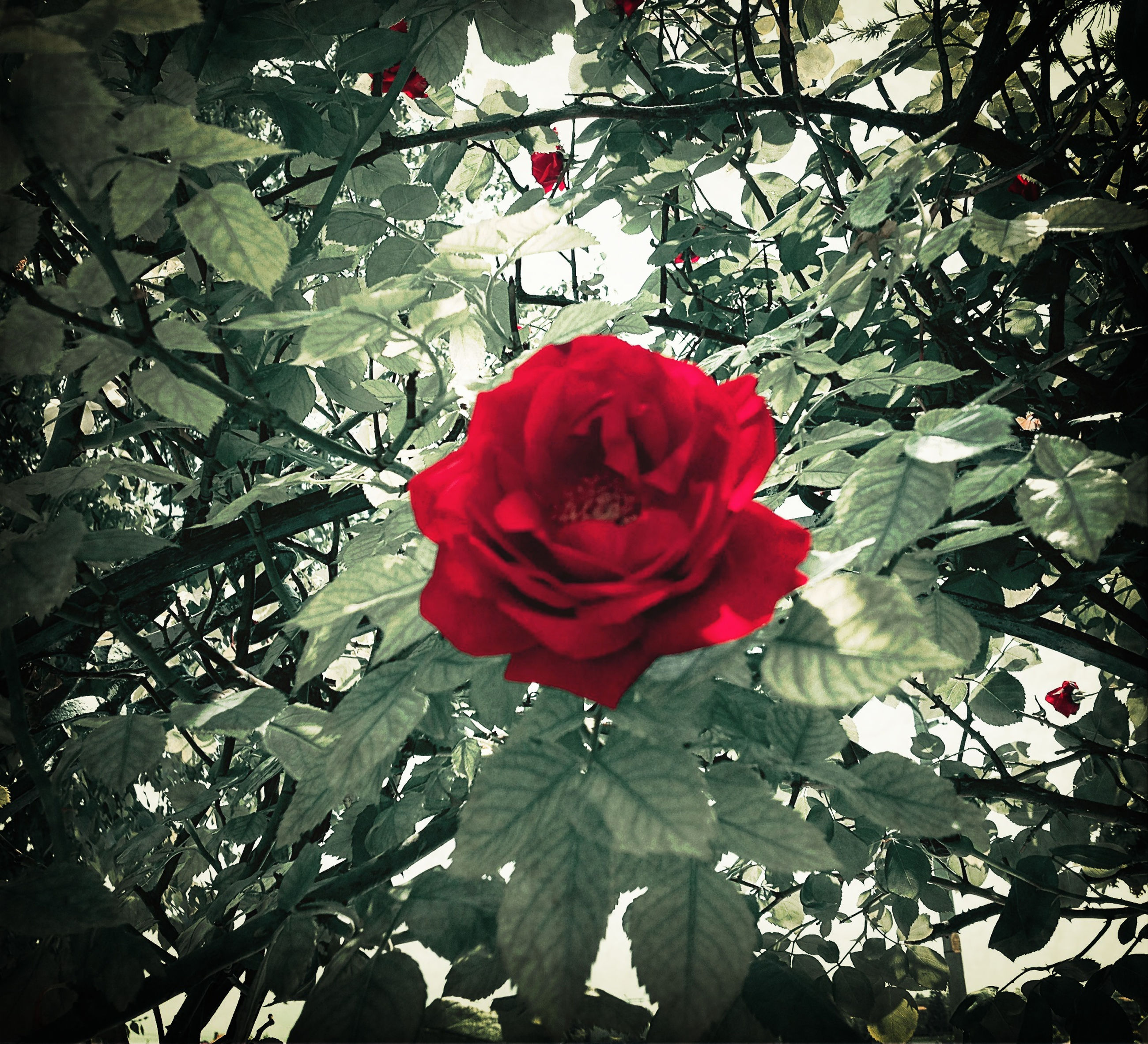 flower, petal, rose - flower, flower head, red, fragility, freshness, beauty in nature, leaf, growth, blooming, nature, close-up, rose, plant, in bloom, single flower, blossom, pink color, high angle view