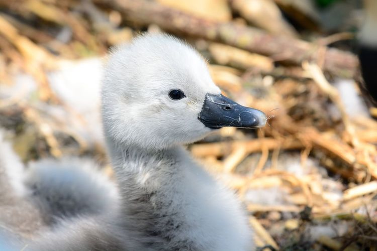 Close-Up Of Cygnet On Field
