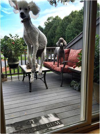 Standard Poodle Dog Pets Cute Pets OpenEdit Happy EyeEm Nature Lover I Love My Dog Enjoying Life Having Fun