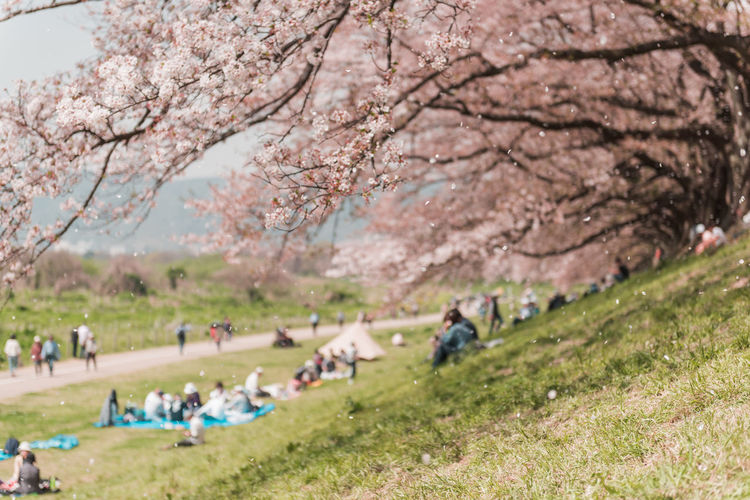 Kyoto, JAPAN - April 3, 2018: People enjoy seeing beautiful blooming cherry blossom at Yawatashi. Plant Tree Blossom Group Of People Nature Flower Growth Springtime Flowering Plant Cherry Blossom Real People Day Beauty In Nature Grass Park Park - Man Made Space People Freshness Men Cherry Tree Outdoors Picnic Sakura Sakura Blossom Hanami