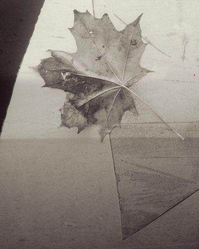 Кленовый лист. осень город Autumn Urban Leaf Close-up Season  No People