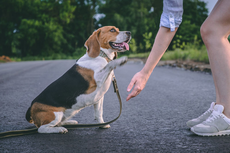 Beagle dog learns to give paw to mistress. walk with the pet. dog paw in human hands person