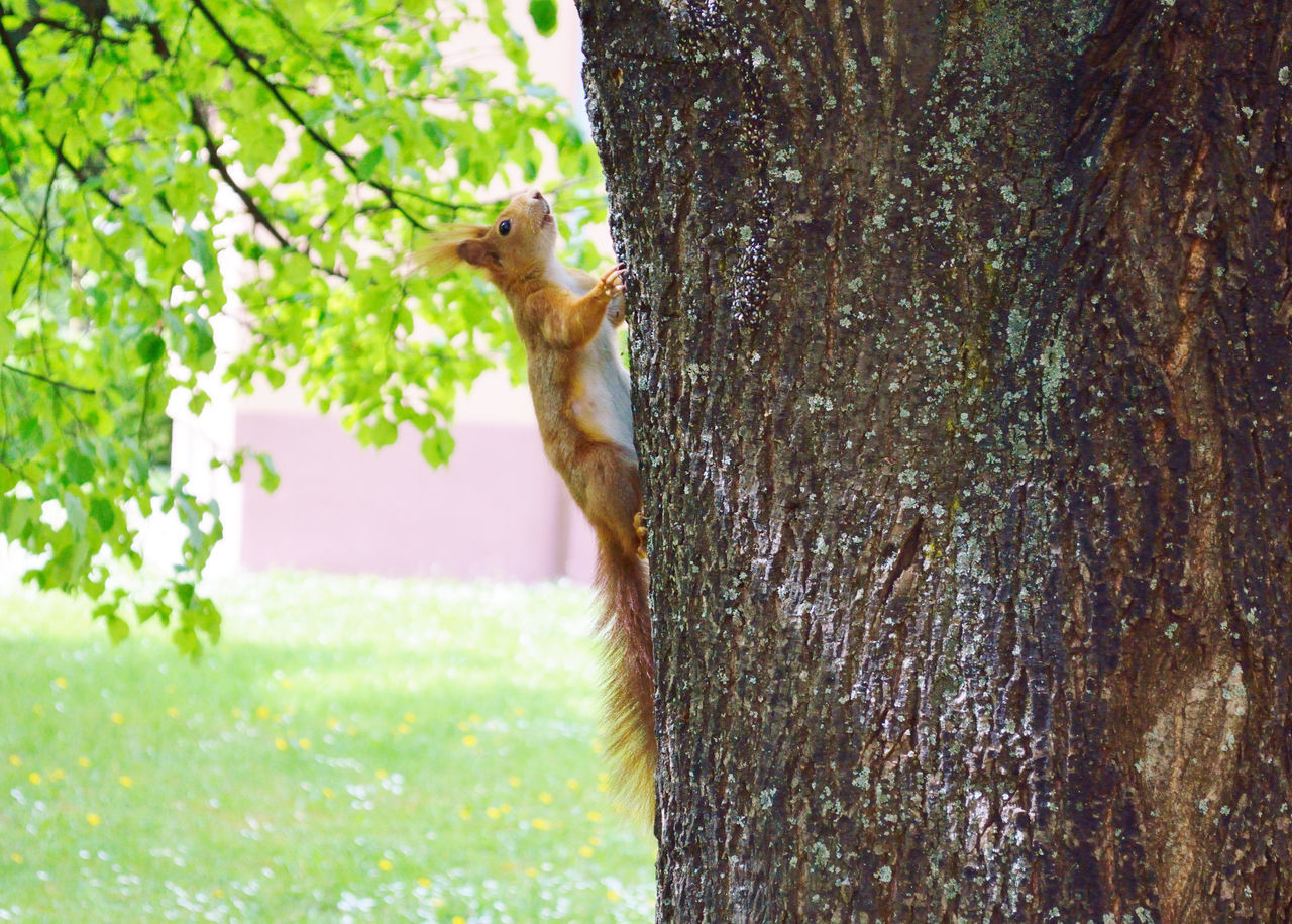 plant, tree, one animal, animal themes, trunk, tree trunk, animal, nature, animals in the wild, animal wildlife, mammal, no people, squirrel, vertebrate, day, growth, rodent, outdoors, textured, plant bark, bark