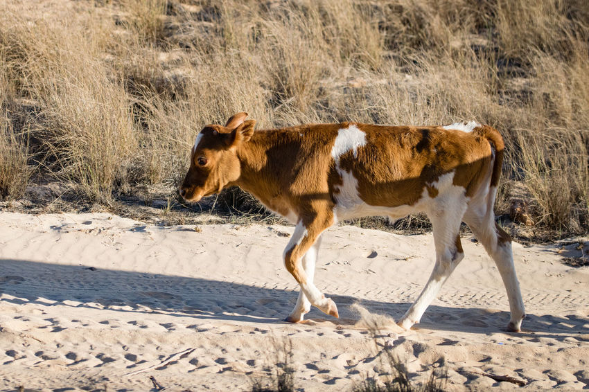 Cattle walking along a sand path to water Cattle Egret Farm Grass Animal Themes Arid Arid Climate Arid Landscape Bovine Calf Calfs Cattle Cow Cows Cows In A Field Day Domestic Animals Dry Livestock Mammal Nature No People One Animal Outdoors Sand Sand Dune