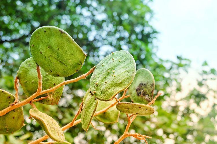 herb,Ma kha num,Sindora siamensis Miq Herb Ma Kha Num Sindora Siamensis Miq Tree Prickly Pear Cactus Close-up Sky Plant Green Color