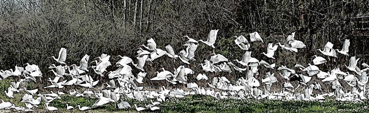 Beauty In Nature Birds In Flight Cranes Eagle EyeEm Birds Birds In Flight Flock Of Birds Flock Of Cranes Flying Birds Swamp Birds