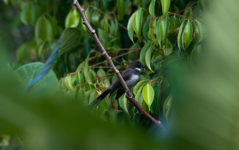 Malaysian pied fantail perching on branch