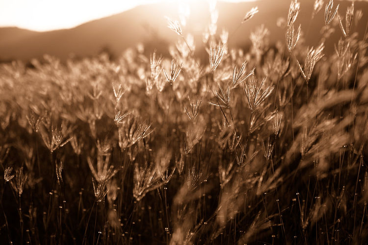 Sunlight Agriculture Beauty In Nature Cereal Plant Close-up Crop  Day Farm Field Flower Freshness Grass Growth Landscape Meadow Mountain Nature No People Outdoors Plant Rural Scene Scenics Sky Sunbeam Sunshine Tranquility Vintage Wheat