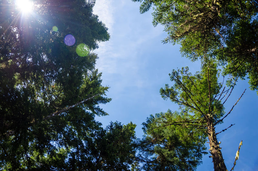 Looking up at pine trees with the sun and some lens flare visible Background Branch Branches Brown Cone Conifer  Coniferous Day Detail Evergreen Fir Forest Fresh Leaft Nature Needle Needles Oregon Outdoors Pine Plant Season  Spruce Tree Wood