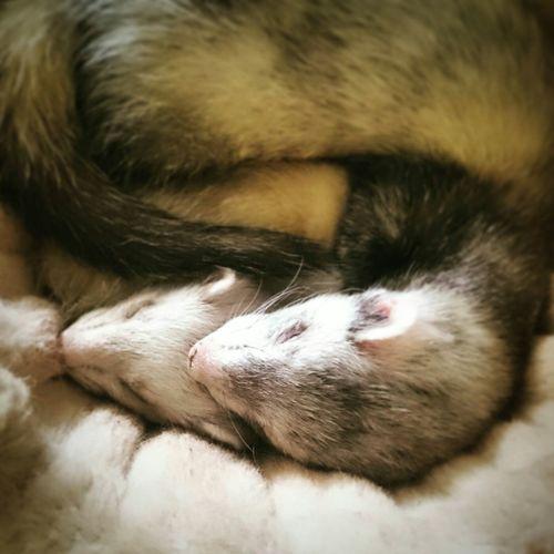 Frettchenliebe - ferrets in love Ferret Ferretlove Frettchen Liebe Tierliebe Animal Love Sleeping Sleeping Ferret Love Truelove
