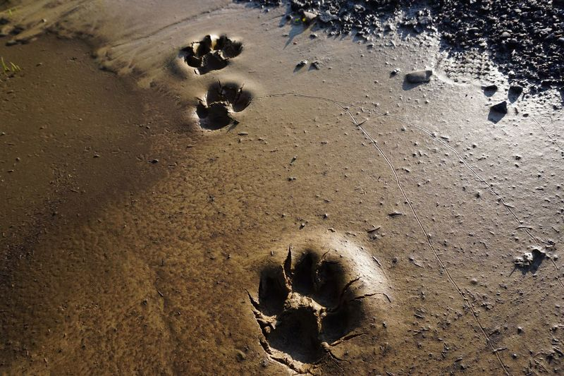 Footsteps Muddy Footsteps Sony A6000 Dog Paw Foot Land Beach Sand High Angle View Nature No People Wet FootPrint Day Water Outdoors Animal Track Print Sea Sunlight Track - Imprint Animal Themes Paw Print Tranquility