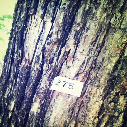 275番の木。