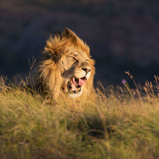 Male Lion yawns after a good afternoon nap Afternoon Light, Walking Through The Park Afternoon Sun Canon Canon 70-200 F2.8 L IS-II Canon 7D MarkII Golden Hour Lion Lone Male Lion, Male Lion Male Lion Portrait Single Lion, Wildlife Wildlife & Nature Wildlife Photography The Great Outdoors - 2017 EyeEm Awards