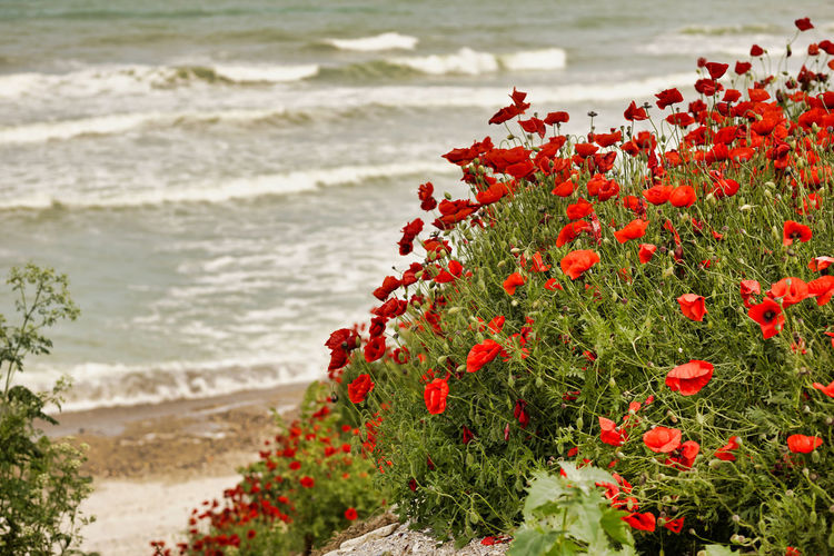 Red flowering plant on sea shore