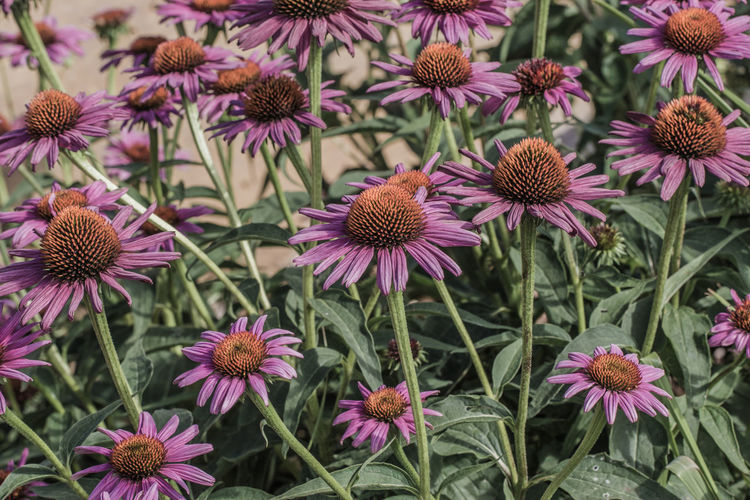 Full frame shot of eastern purple coneflowers blooming at park