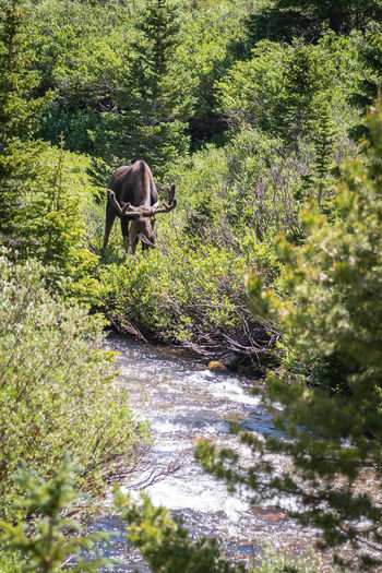 Bull moose by a