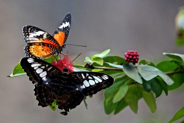 Close-up of butterflies on pink flower