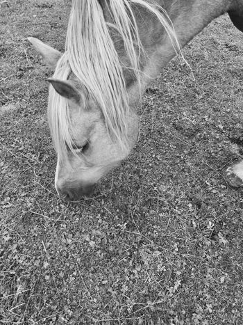 Horse Stalion Black And White