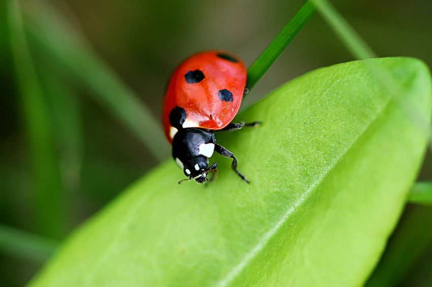 Insect Animal Wildlife Animal Themes Animal Animals In The Wild One Animal Beetle Leaf Close-up Selective Focus Day Plant Red Ladybug No People Green Color Plant Part Nature