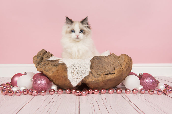 Ragdoll baby cat with blue eyes in a wooden basket surrounded with christmas decoration in a pink living room setting Blue Eyes Christmas Pink Animal Themes Basket Cat Christmas Decoration Domestic Feline Kitten Looking At Camera Pets Pink Background Ragdoll Ragdoll Cat Ragdoll Kitten Wooden Basket