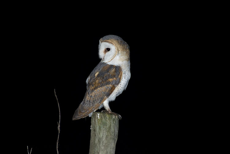 Close-up of owl perching on wooden post over black background