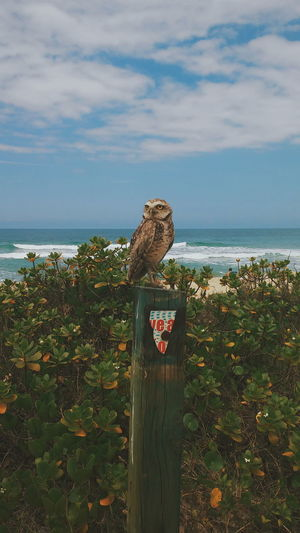 Owl On Wooden Post Against Sea