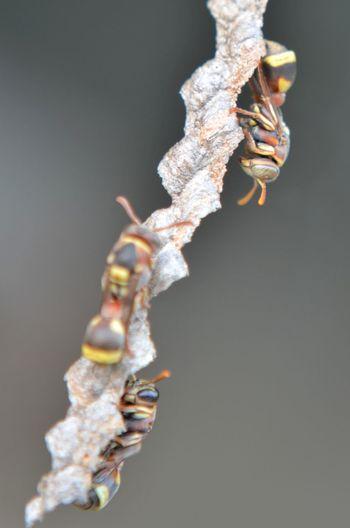 Honey Bee Black