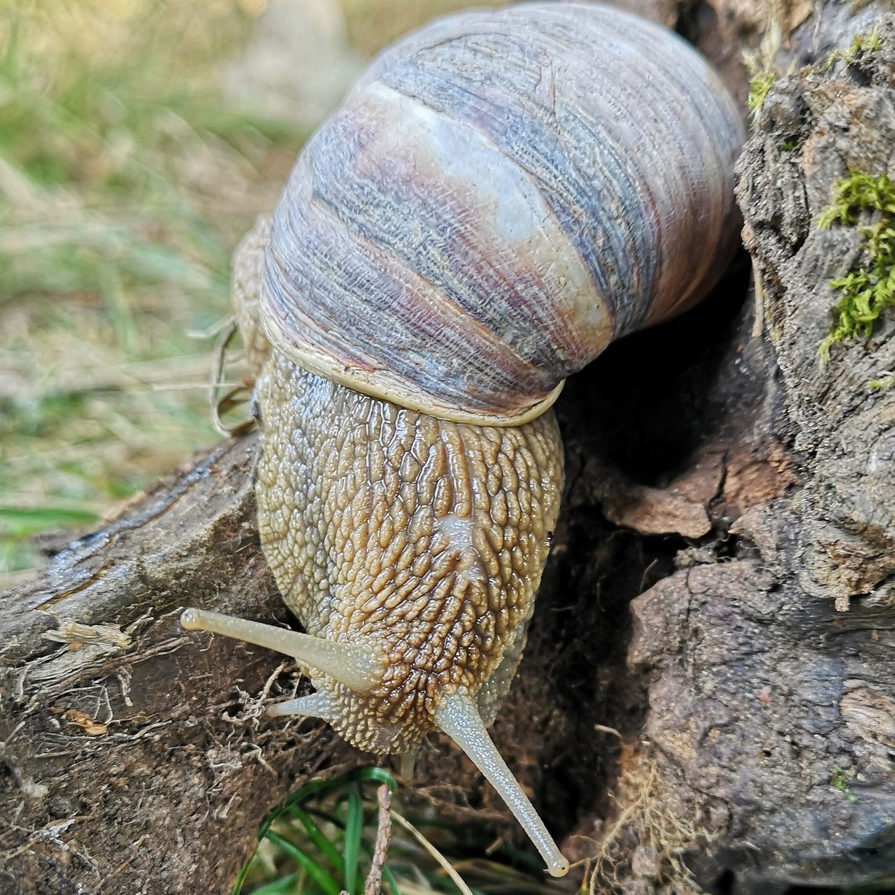 animal, animal wildlife, animal themes, animals in the wild, close-up, invertebrate, one animal, mollusk, shell, gastropod, animal shell, snail, nature, no people, day, animal body part, plant, focus on foreground, tree, tree trunk, outdoors, crawling