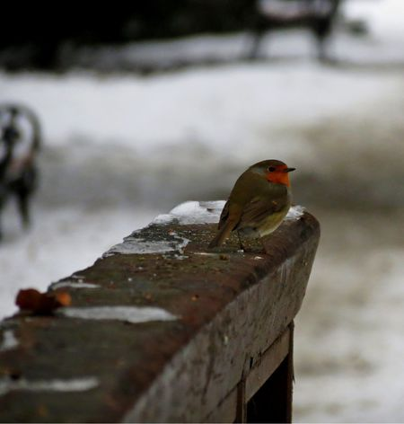 Robin Bird Animal Themes One Animal NatureWintertime Cold Day Winter Nature_collection Naturephotography Animal Photography Animal_collection Animal Themes Nature Photography Winter_collection Nature Animallovers Beauty Of Nature Beautiful Nature