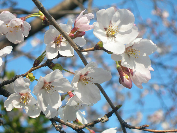 Almond Tree Beauty In Nature Blossom Branch Close-up Day Flower Flower Head Fragility Freshness Growth Japan Nature No People Outdoors Petal Plum Blossom Sakura Springtime Tree Twig White Color 花見 Women Around The World
