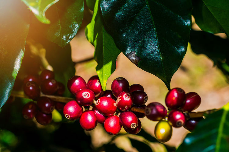 100% Organic Arabica Coffee Beans On Tree In CHIANG RAI, North of Thailand. Beans Coffee Tree Arabica Branch Close-up Day Focus On Foreground Food Food And Drink Freshness Fruit Green Color Growth Healthy Eating Leaf Nature No People Organic Outdoors Plant Red Tree
