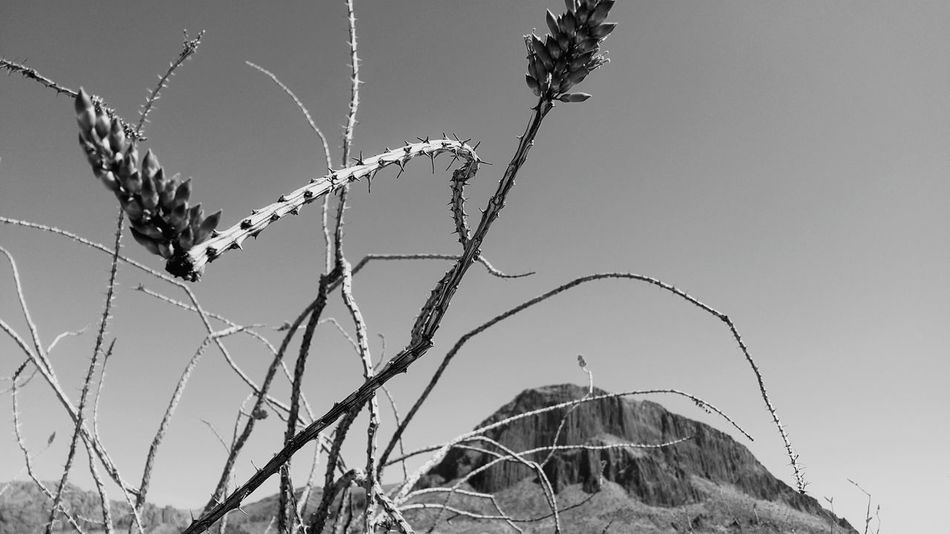 Outdoors Desert Clear Sky Fine Art Photography EyeEm Best Shots Beauty In Nature Plant Cactus Ocotillo Cactus Mountains Desert Mountains No People Landscape Day Sky Blackandwhite Black & White Black And White Photography Black And White B&w