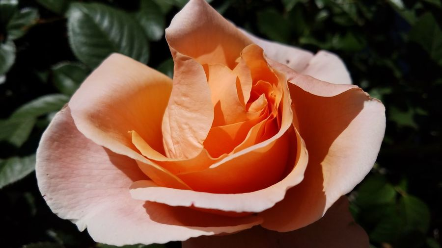 Natural Light No Edit Peach Rosé Outdoors No People Beauty In Nature Growth Shadow And Light Check This Out Copy Space Fine Art Photgraphy Still Life Photography Street Photography Growth Petal Fragility Flower Nature Walking The Streets