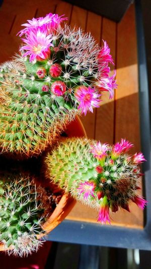 Flower Cactus Live For The Story Light And Shadow Growth Plant Fragility Close-up Freshness No People Nature Pink Color Flower Head Day Indoors  Beauty In Nature