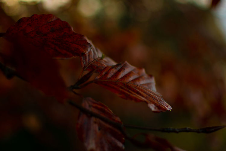 Autumn leaf Close-up Autumn Plant Part Leaf Beauty In Nature Focus On Foreground Plant Selective Focus No People Nature Red Day Change Outdoors Growth Leaves Dry Vulnerability  Fragility Maroon Natural Condition