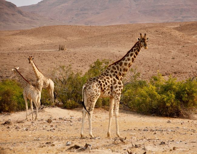 Giraffes Animal Wildlife Animals In The Wild Animal Themes Animal Mammal Giraffe