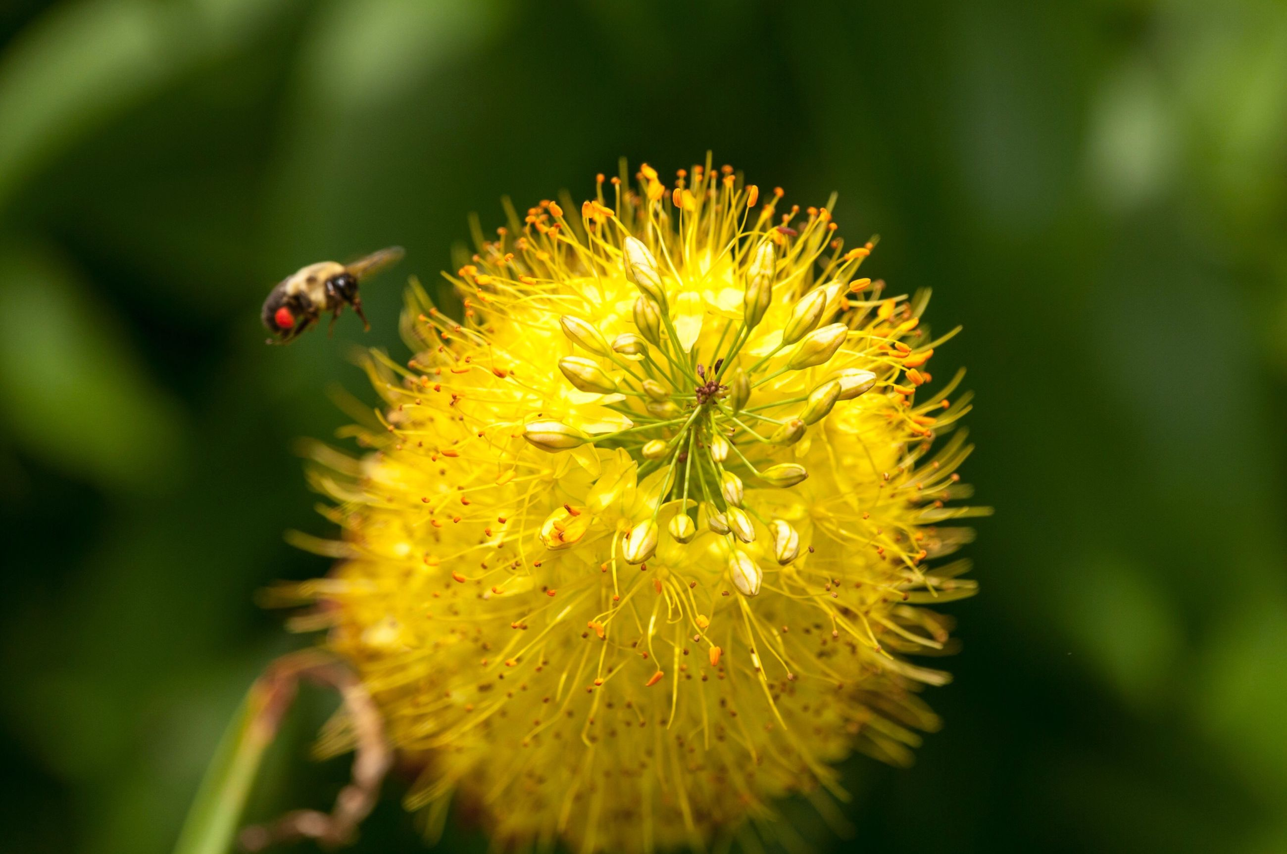 insect, flower, one animal, animals in the wild, animal themes, petal, nature, fragility, wildlife, beauty in nature, growth, yellow, animal wildlife, close-up, plant, no people, outdoors, freshness, day, flower head, bee, blooming, pollination, ladybug, buzzing