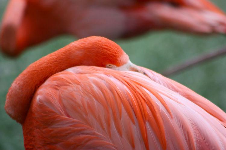 Bird Flamingo