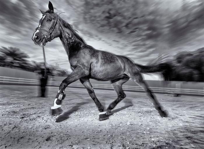 Majestic Nature Horse Photography  Lunging Movement B&w Photography Action Shot  Dark Skies Fill Flash Hasselblad H5D Sports Photography Motion Blur Equestrianphotography Equestrian Sport Fine Art Photography