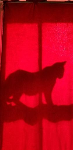 Fun Fluffy Pet Black Cat Halloween Red Shadow Domestic Cat Witch Spooky Close-up Tabby Pets Cat Domestic Animals Kitten Feline