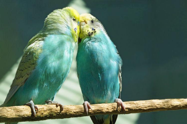 Budgerigar in love