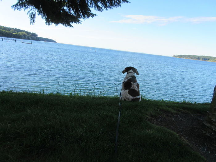 Day Dream Gaze British Brittany Spaniel Brittany ❤ Cute Pets Dog Looking Sequim Bay View Canine Cute Cute Puppy Dog Dog Looking At Nature Dog Looking Away Domestic Animals Gaze Grass Pets Scenics - Nature Sky Viewpoint