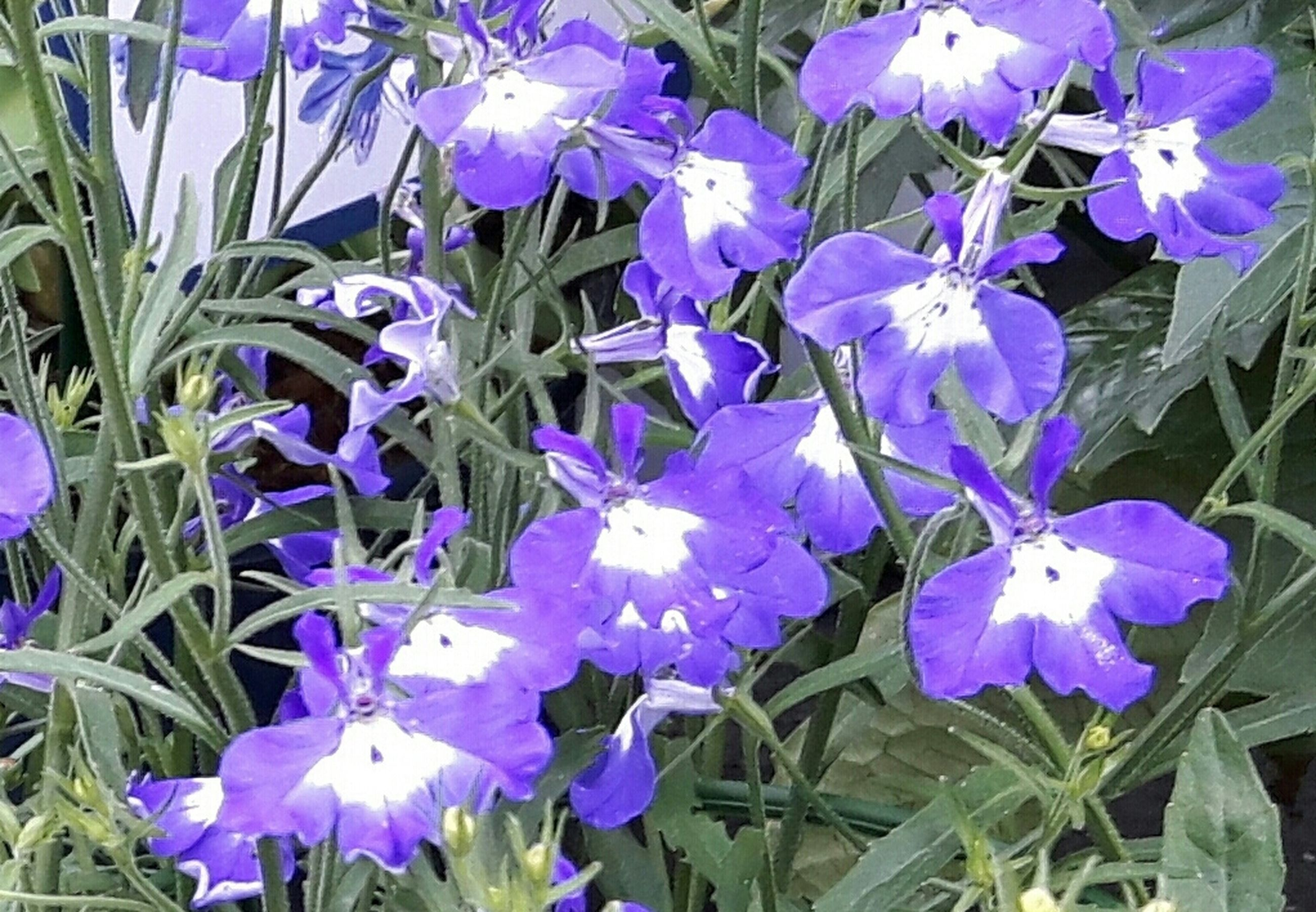 flower, purple, freshness, petal, fragility, growth, flower head, beauty in nature, plant, blooming, nature, leaf, in bloom, high angle view, close-up, blue, stem, park - man made space, outdoors, no people