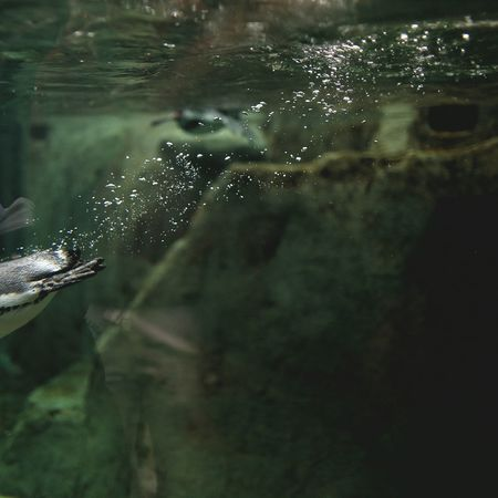 Captured Moment Vancouver Penguins Bubbles Swimming Streamzoofamily Canon Enjoying Life Photography In Motion