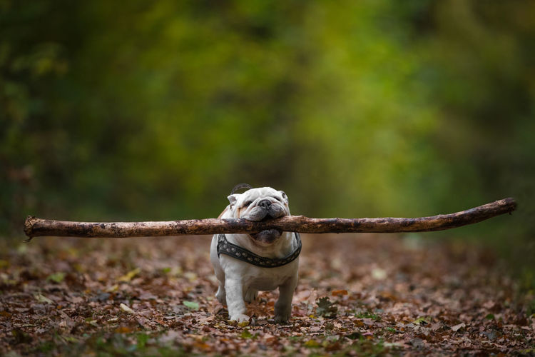 english bulldog in forest Dog Forest Mammal Canine Animals In The Wild Selective Focus Outdoors One Animal Animal Themes Full Length Plant Domestic Animals Bulldog