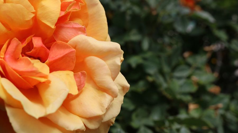 No People Flower Petal Flower Head Rose - Flower Fragility Nature Freshness Beauty In Nature Plant Growth Outdoors Blooming Close-up Springtime Day