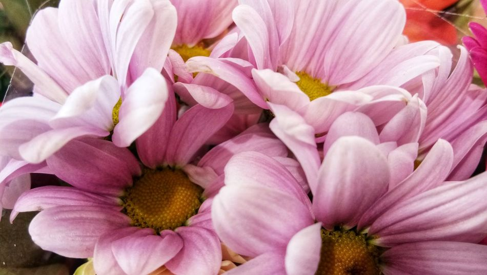 EyeEm Selects Flower Pink Color Petal No People Flower Head Close-up Beauty In Nature Outdoors Nature Plant Fragility Freshness Day