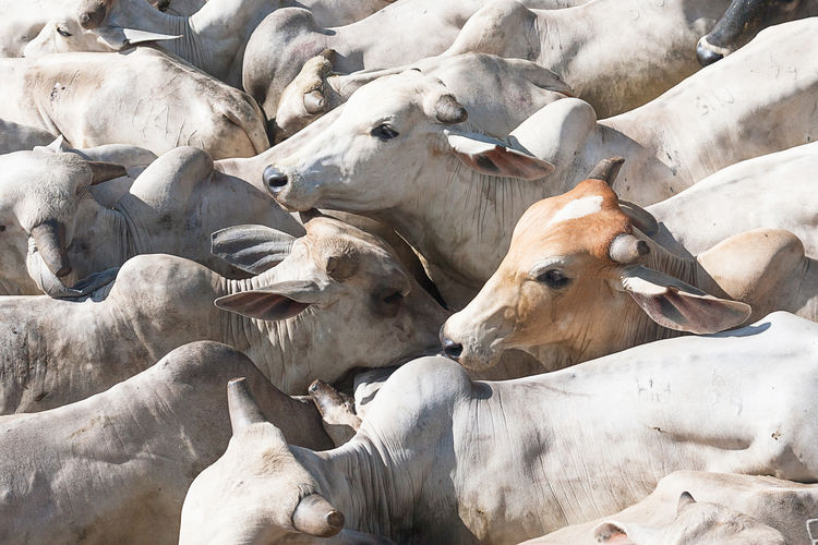 View from above of cebu bulls at a farm near Villavicencio, Colombia. Agriculture Animal Themes Bull Cebu Colombia Cows Crowded Day Domestic Animals Food Horn Large Group Of Animals Livestock Mammal Meat Meta Nature No People Outdoors Overpopulated Slaughterhouse Villavicencio