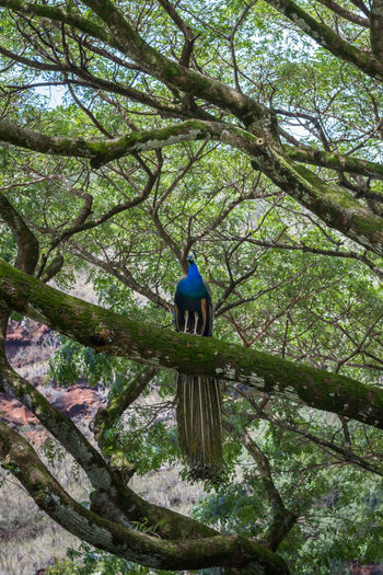 Peacock in a tree Proud Animal Animal Themes Animal Wildlife Beauty In Nature Big Tree Bird Birds Branch Feathers Of A Bird Forest Green Color Growth Live Low Angle View Male Nature No People One Animal Outdoors Peackock Perching Plant Roosting Tree